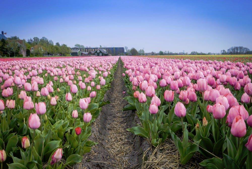 Tulpen, Nederland
