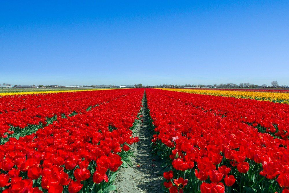 tullips fields