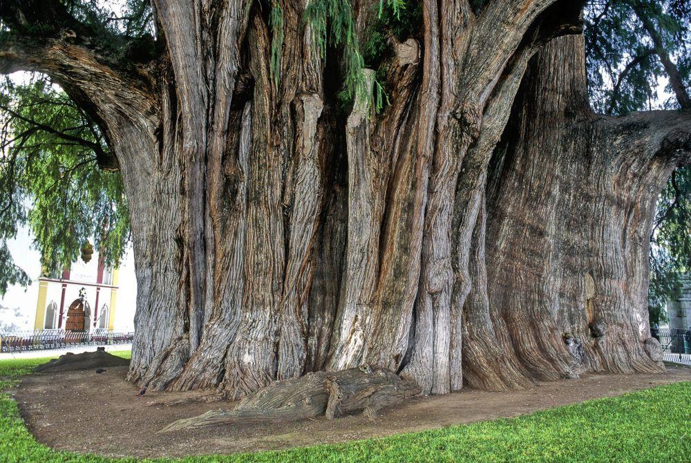 De indrukwekkende Tuleboom in Mexico