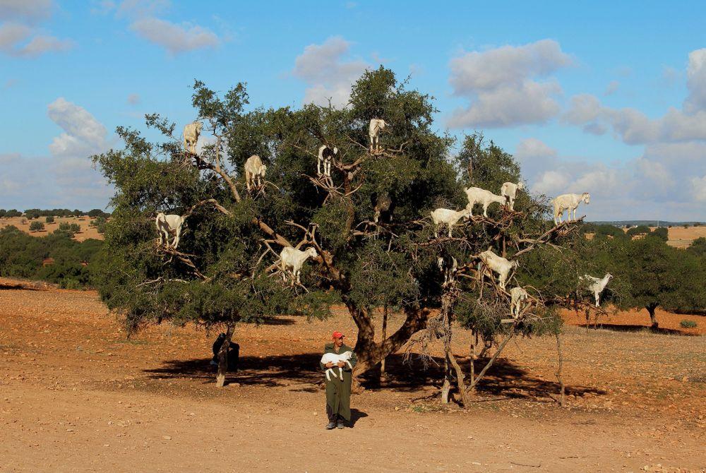 De boomklimmende geiten van Marokko