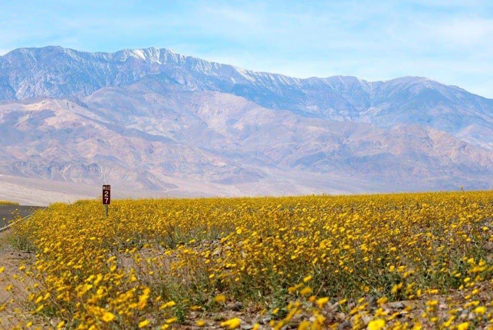 Death Valley woestijn omgetoverd tot prachtige zeldzame bloemenzee