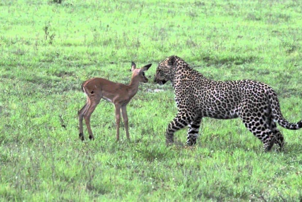 Ongelooflijke beelden van een luipaard en een jonge impala