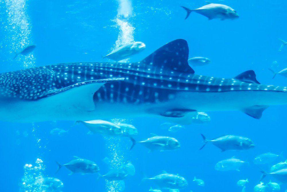 Vijf do's en don't als je walvishaaien wilt spotten in de Filipijnen